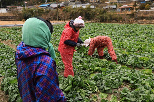 「下北春まな」を収穫する集落の人たち