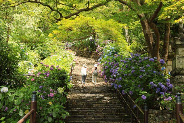 紫陽花が咲く長谷寺
