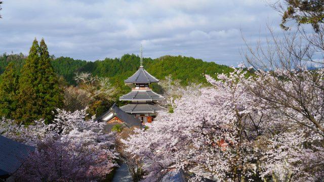 桜満開な金峯山寺から見た南朝妙法殿