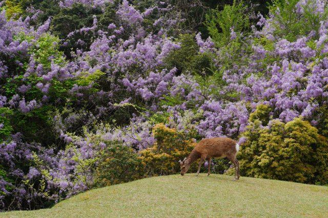 飛火野に咲く藤の花と鹿