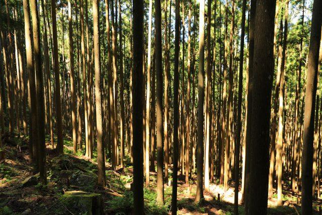 吉野杉の山
